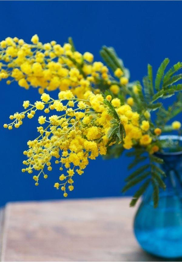 Mimose per festa della donna 8 marzo su vaso blu