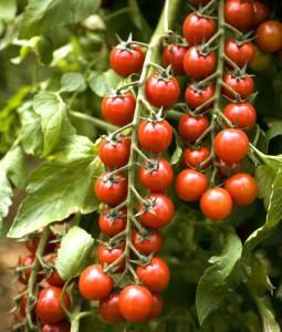 Pomodoro Ciliegino - 1 Kg