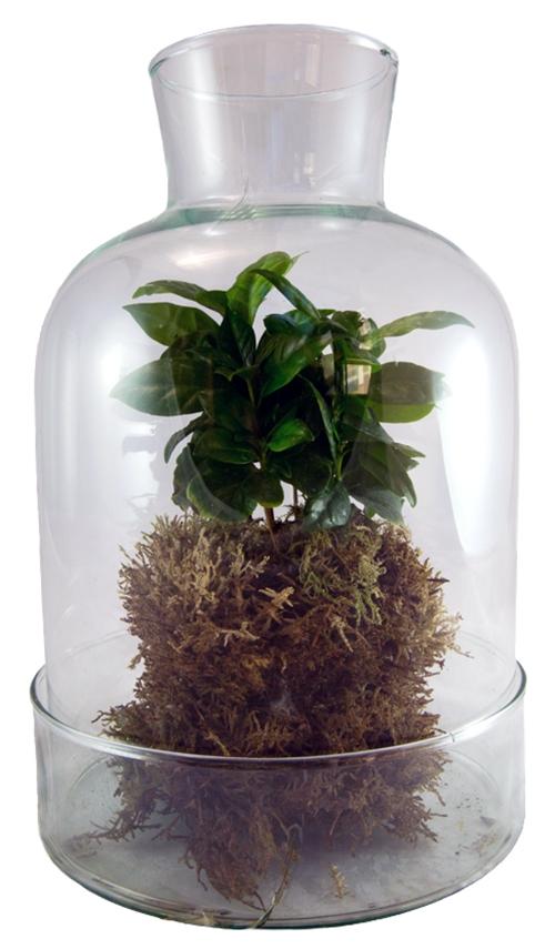 Terrario in vetro con pianta del caffè