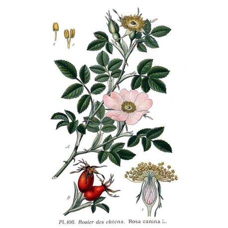 Rosa Canina Bacche