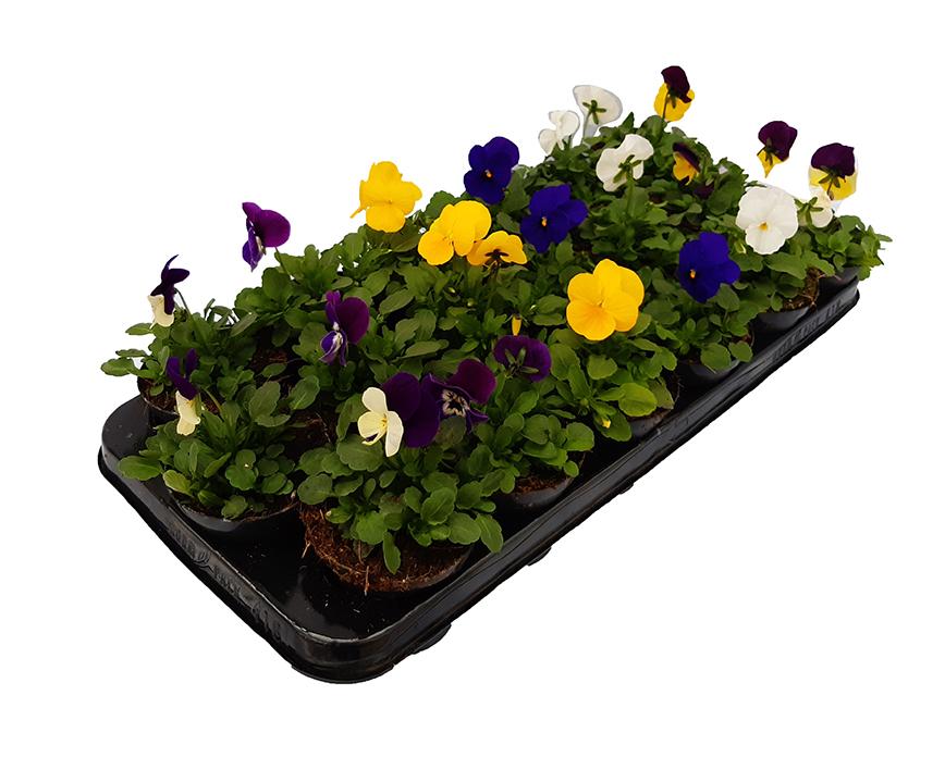 Vassoio 18 viole fiore piccolo  € 15,00