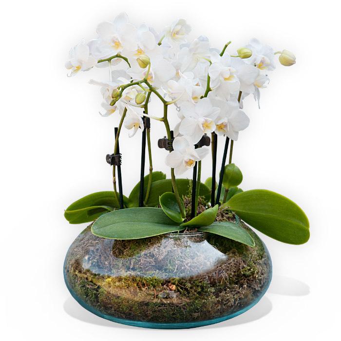 Piante di orchidee Phalenopsis in vaso di vetro