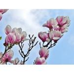 magnolia-3261086_640-300x300