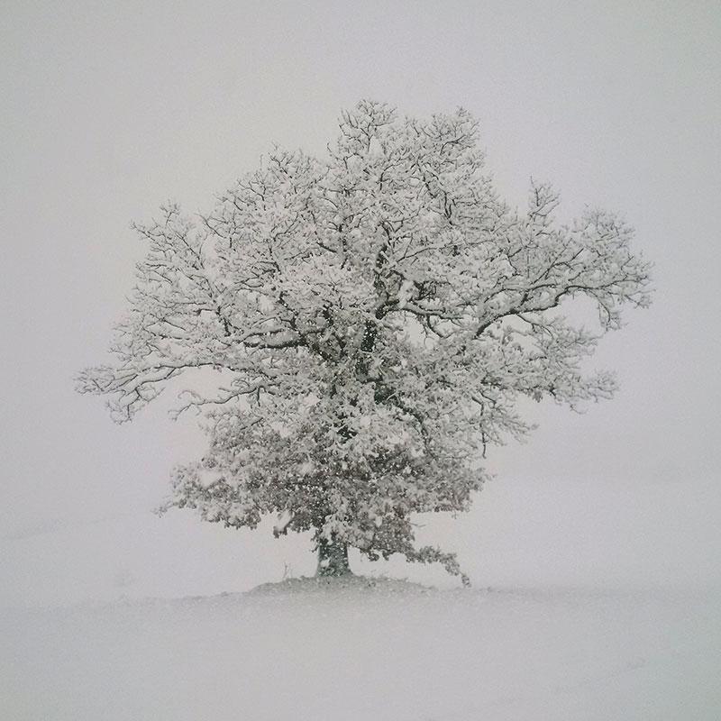 quercia d'inverno