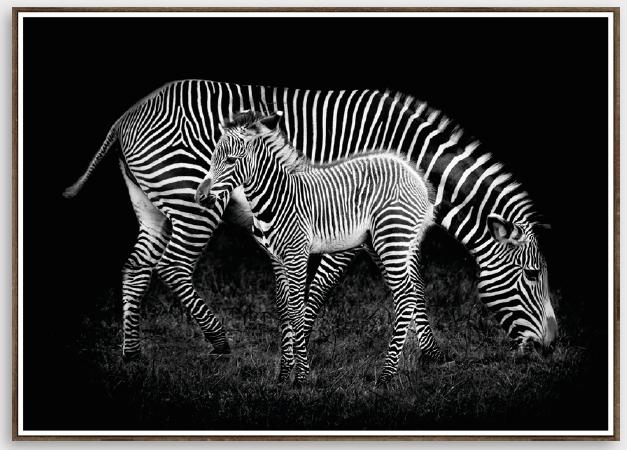 Tela Zebras