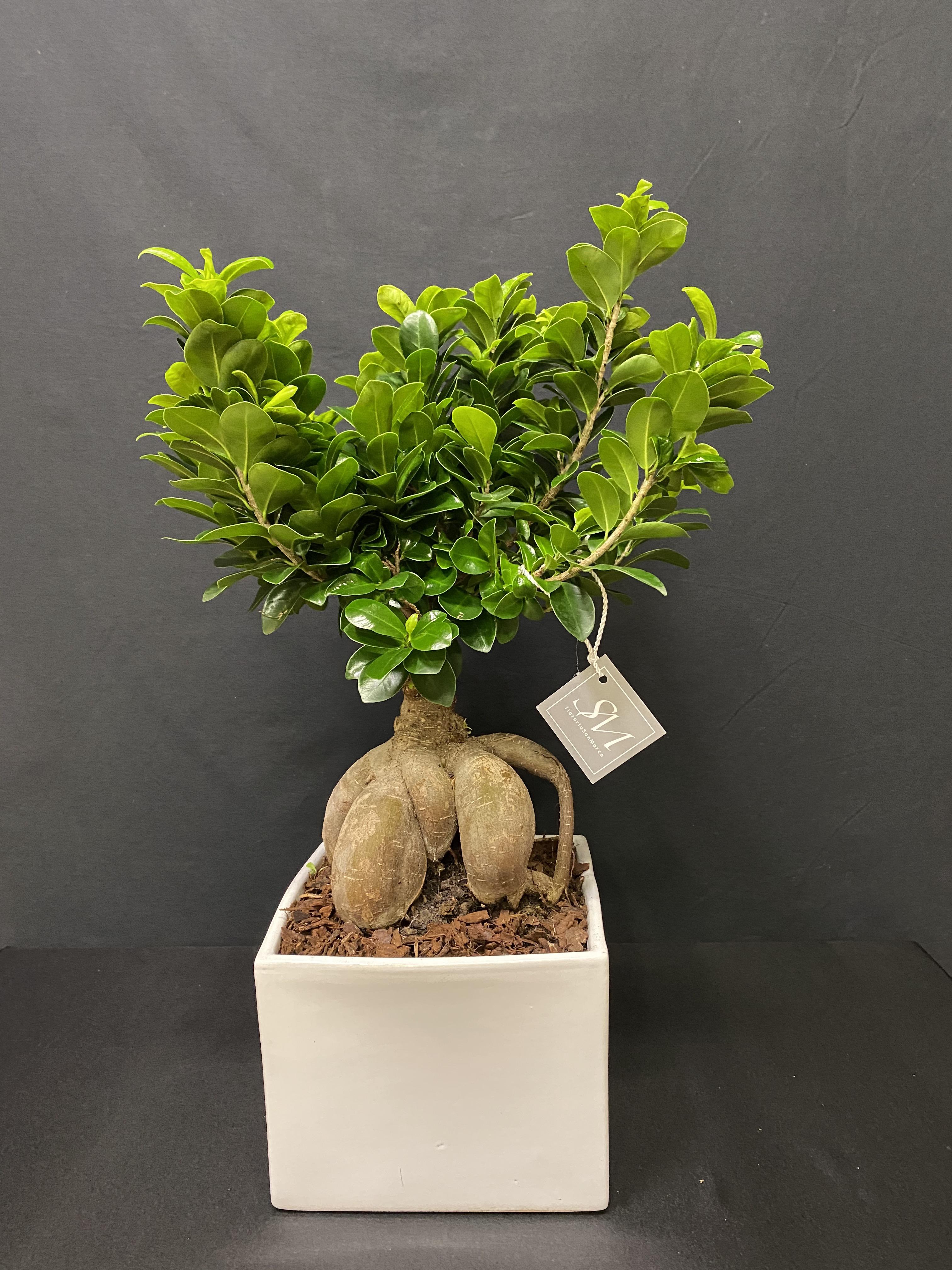 Ficus Ginseng XL